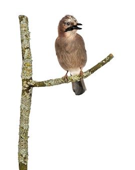 Sójka zwyczajna siedząca na gałęzi, tweetująca