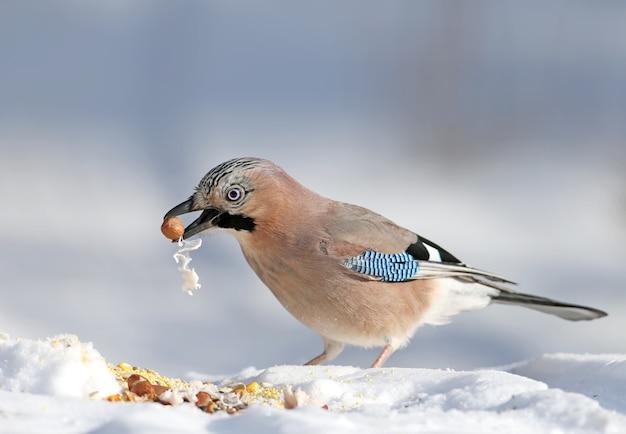 Sójka zwyczajna siedzi na śniegu i próbuje połknąć orzechy laskowe tłuszczem wieprzowym. zdjęcie ze szczegółami upierzenia i tęczówki