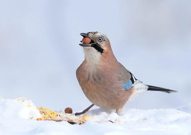 Sójka zwyczajna siedzi na śniegu i próbuje połknąć orzechy laskowe. zdjęcie ze szczegółami upierzenia i tęczówki