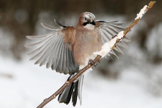Sójka zwyczajna z otwartymi skrzydłami ląduje na cienkiej gałęzi z jedzeniem