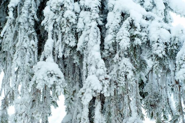 Solidna kurtyna opadających żywych gałęzi dużej jodły pokryta śniegiem po opadach śniegu
