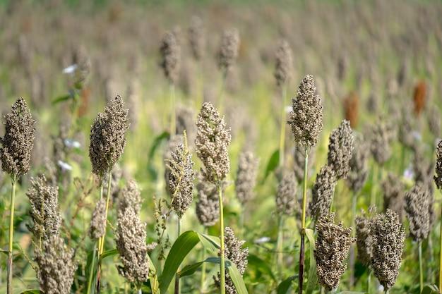 Sorgo plantacje na gospodarstwie rolnym w tajlandia