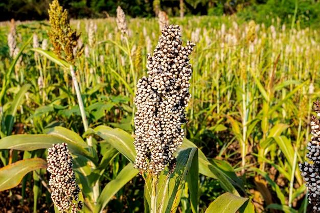 Sorgo zbożowe rosnące na polu z bliska