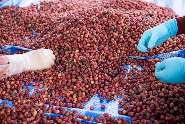 Sortowanie dobrych ziaren kawy i połamanych ziaren kawy obiema rękami.