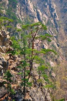 Sosna i skalny klif, park narodowy seoraksan, korea południowa