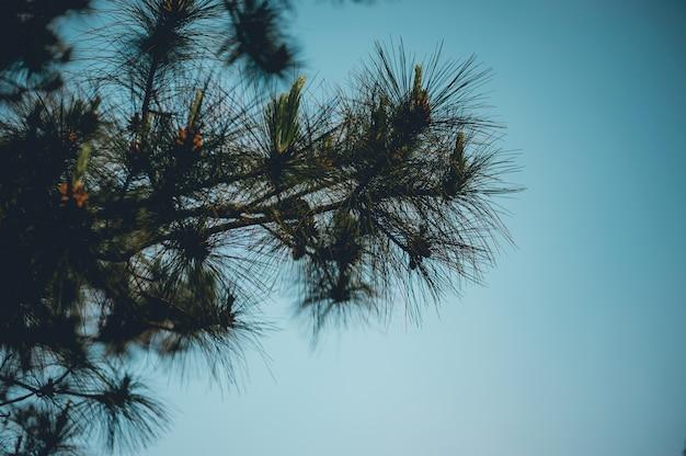 Sosna i sosna występują w górach podczas mroźnych zimowych drzew. a sosna jest sucha.