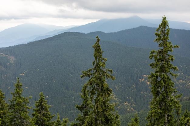 Sosna las karpackich gór piękny krajobraz