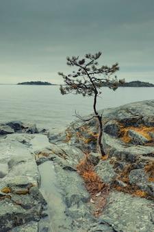 Sosna na piaszczystym brzegu jeziora ładoga w karelii