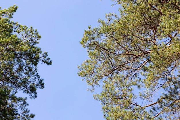 Sosna na tle błękitnego nieba w słoneczny dzień. niski kąt widzenia. drzewo iglaste oświetla światło słoneczne. ciepły słoneczny dzień w sosnowym lesie.