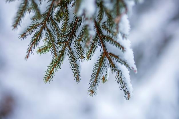 Sosna rozgałęzia się z zielonymi igłami zakrywać z głębokim świeżym czystym śniegiem na zamazanym błękita outdoors kopii przestrzeni tle. wesołych świąt i szczęśliwego nowego roku pocztówka z życzeniami. miękki efekt świetlny.