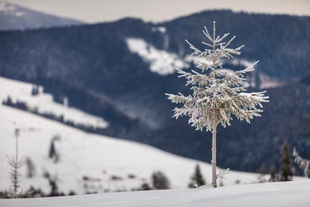 Sosna samotnie na halnym śnieżnym zboczu