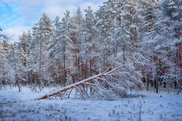 Sosna spadła w lesie po opadach śniegu