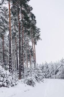 Sosna w białym śniegu pokrywa zimą lasu