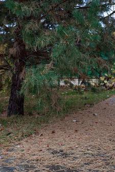 Sosna w pobliżu rzeki w jesiennym parku duża stara zielona sosna z opadłymi i suchymi igłami leżącymi na g...