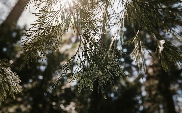 Sosna whitebark w parku narodowym yosemite, usa