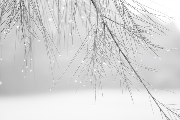 Sosna z kroplami wody w kolorze białym i zimnym.