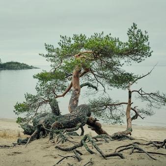 Sosna z zakrzywionym pniem na piaszczystym brzegu jeziora ładoga w karelii