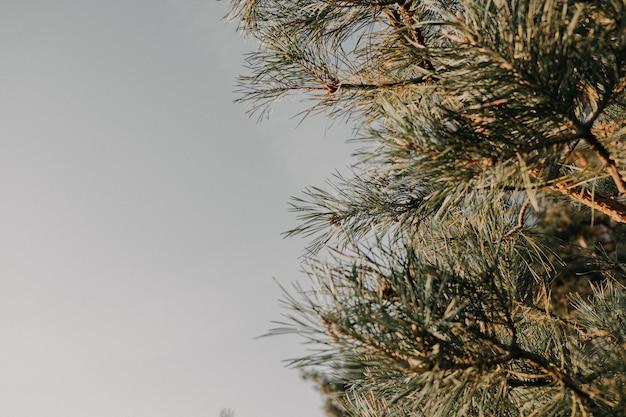 Sosna zielona igła. selektywne ustawianie ostrości