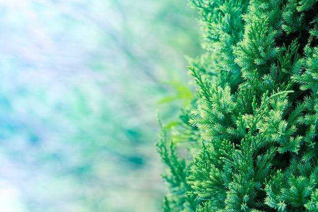 Sosnowe drzewo, zimozielony jałowca tle. boże narodzenie i zimowe tapety