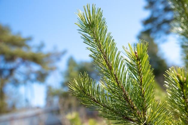 Sosnowe gałęzie w słoneczny wiosenny dzień. jasno zielone kolczaste gałęzie sosny lub cedru z błękitnym niebem.