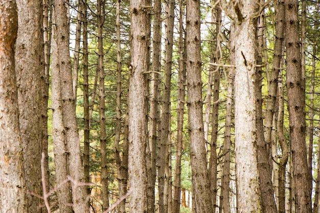 Sosnowy las i dziki krajobraz i widok, widok drzew w gruzji