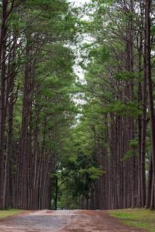 Sosnowy las przy bor keaw jawnym parkiem, chiang mai, tajlandia