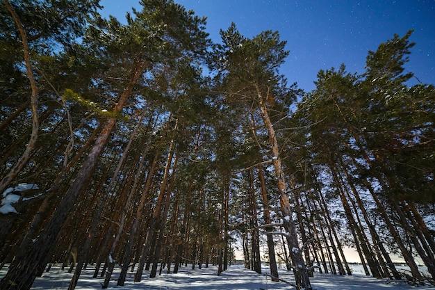 Sosnowy las z głębokim śniegiem jest fotografowany w zimową noc przy pełni księżyca.