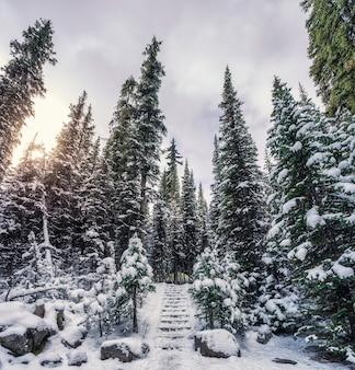 Sosnowy las ze śniegiem pokrytym na kempingu zimą w parku narodowym yoho