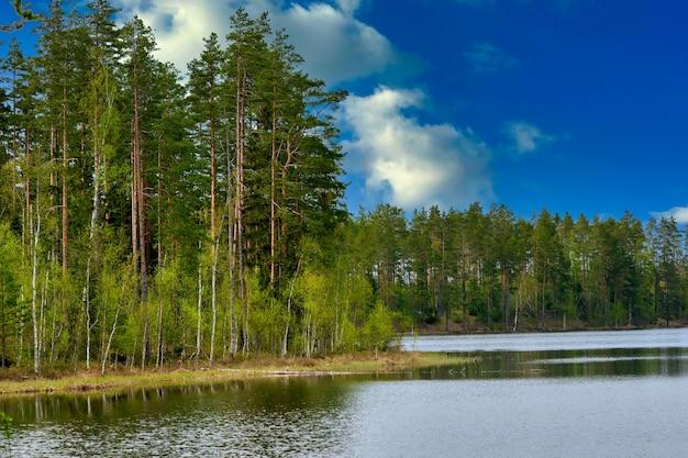 Sosny nad brzegiem jeziora leśnego na tle błękitnego nieba z chmurami.