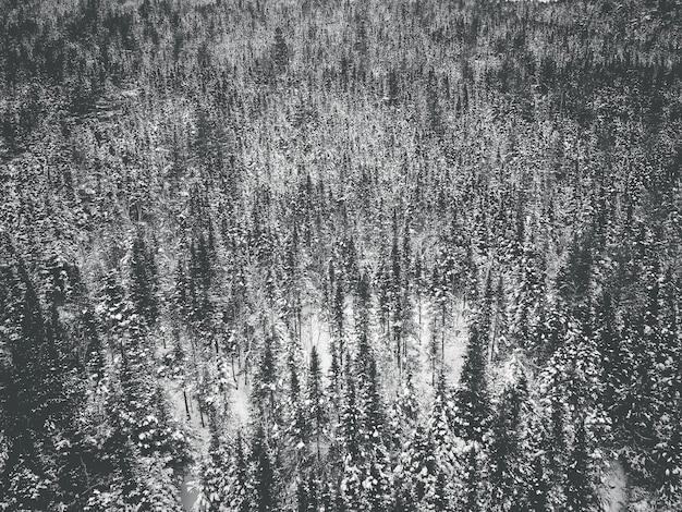 Sosny pokryte śniegiem