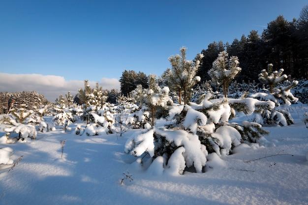 Sosny rosnące w lesie zimą. pokryty śniegiem
