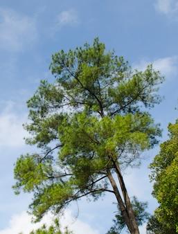 Sosny w lesie z niebieskim niebem