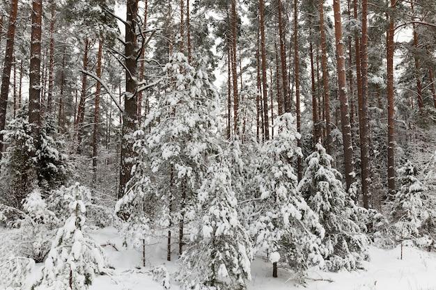 Sosny w sezonie zimowym. na igłach drzew powstał szron. pochmurna pogoda i mróz