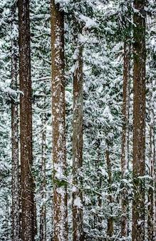 Sosny w zimowym lesie. fragment lasu. japonia. nagano. jigokudani monkey park.
