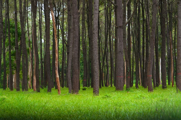 Sosny, wysokie zielone pnie, piękne sosny i zielona trawa na tle przyrody