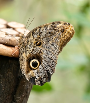 Sowa motyl w parku w ameryce południowej.