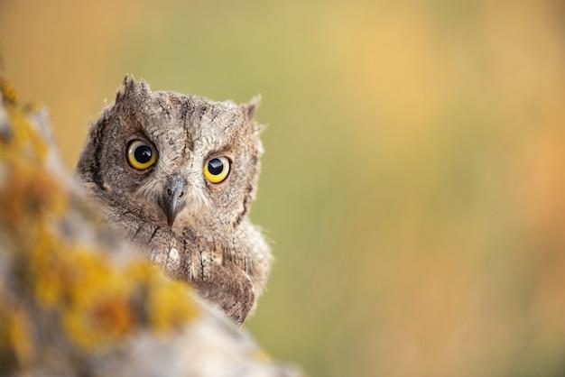 Sowa scops patrząc z gniazda. otus scops z bliska.