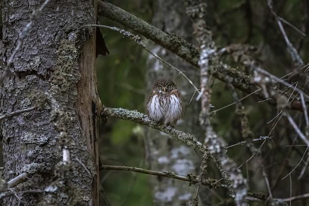 Sowa siedzi na gałęzi i patrząc do kamery