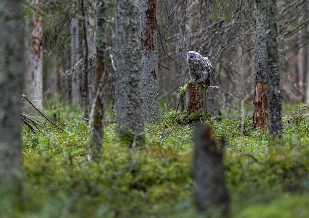 Sowa siedzi na pniu drzewa w lesie