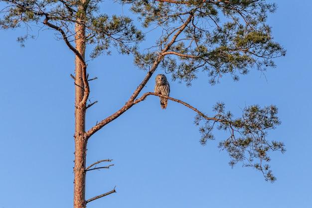 Sowa siedzi na wysokiej gałęzi drzewa