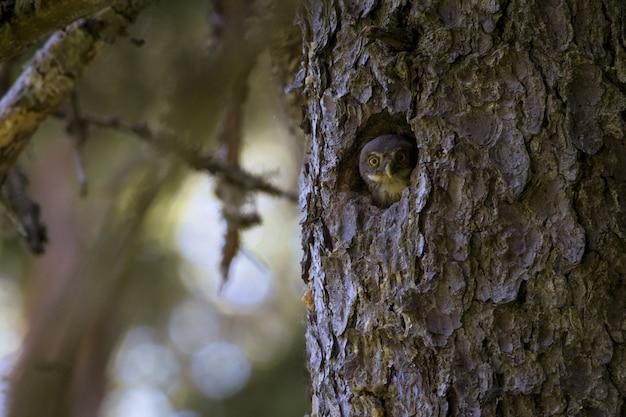 Sowa siedzi w norce wewnątrz pnia drzewa