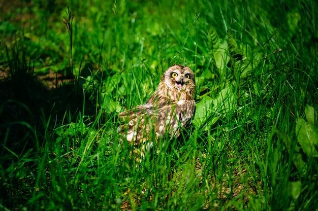 Sowa siedzi w zielonej trawie w słoneczny dzień na zewnątrz. mała sowa z otwartym dziobem, zbliżenie.