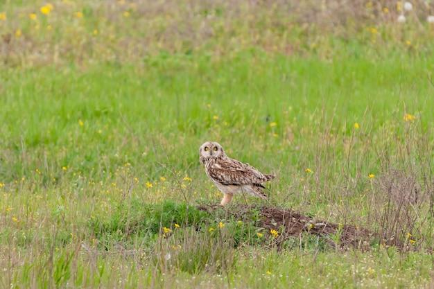 Sowa uszata, asio flammeus, pojedynczy ptak w trawie.