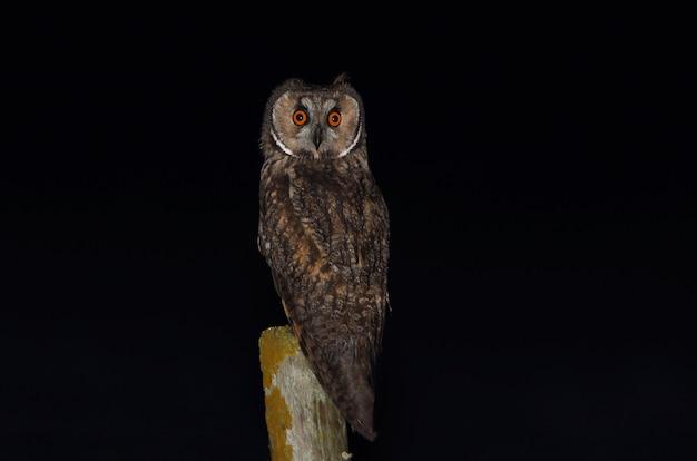 Sowa uszata przy swoim ulubionym okoniu wieczorem przed wyruszeniem na polowanie
