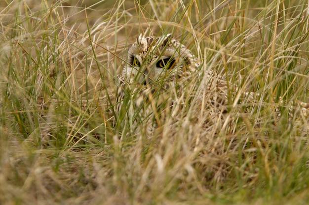 Sowa uszata sfotografowana z pierwszymi światłami mroźnego poranka z mroźnym polem