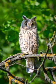Sowa uszata w lesie, siedząca na pniu drzewa w siedlisku leśnym. piękne zwierzę w przyrodzie