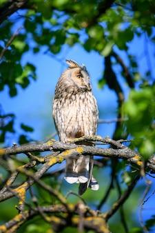 Sowa uszata w lesie, siedząca na pniu drzewa w siedlisku leśnym