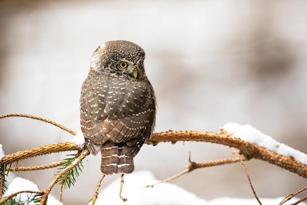 Sóweczka zwyczajna siedzi na drzewie w zimie
