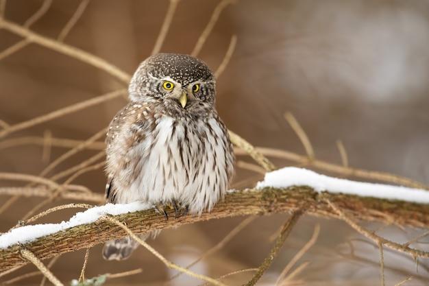 Sóweczka zwyczajna siedzi na gałęzi w przyrodzie zimą