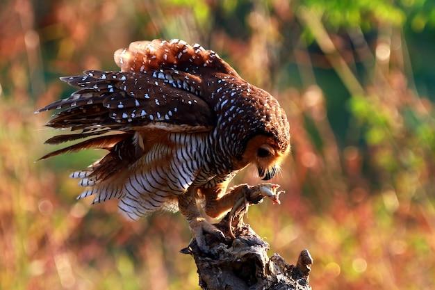 Sowy łapią zdobycz na małe kurczaki zbliżenie zwierząt sowy na polowaniu